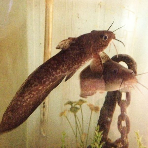 Eel Tailed Catfish Fingerlings